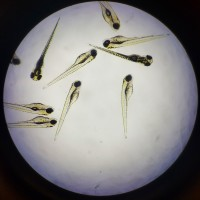 A microscope slide of developing zebrafish.